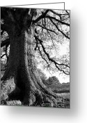 Evening Light Greeting Cards - Ancient Oak Greeting Card by Thomas R Fletcher