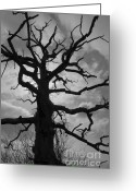 Black Greeting Cards - Ancient Oak Tree No. 4 Greeting Card by Dave Gordon
