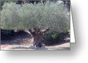 Colette Greeting Cards - Ancient Old Olive Tree in South France Greeting Card by Colette Hera  Guggenheim