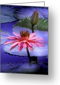 Lotus Bud Greeting Cards - And the Day Came.... Greeting Card by Holly Kempe