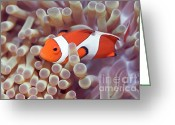 Clown Fish Greeting Cards - Anemone and Clown-fish Greeting Card by MotHaiBaPhoto Prints