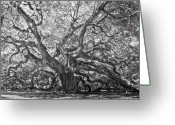 Low Country Greeting Cards - Angel Oak II Greeting Card by Drew Castelhano