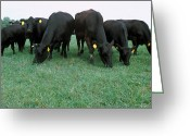 Cattle Greeting Cards - Angus Cattle Greeting Card by Science Source