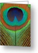 Feathery Greeting Cards - Animal - Bird - Peacock Feather Greeting Card by Mike Savad