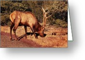 Elk Greeting Cards - Animal - Elk -  An Elk Eating Greeting Card by Mike Savad