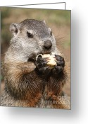Groundhog Greeting Cards - Animal - woodchuck - eating Greeting Card by Paul Ward