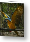 Birds Pyrography Greeting Cards - Animal Kingdom - Flights Of Wonder Greeting Card by AK Photography