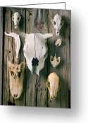 Horns Greeting Cards - Animal skulls Greeting Card by Garry Gay