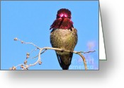 S. California Greeting Cards - Annas Hummingbird  Male Greeting Card by Carl Jackson