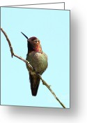 Perched Birds Greeting Cards - Annas Hummingbird Greeting Card by Wingsdomain Art and Photography