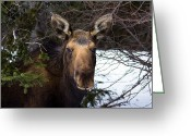 The Cape Greeting Cards - Another moose Greeting Card by Michel Soucy