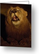Zambia Greeting Cards - Answering A Rivals Roar, A Lion Defends Greeting Card by Frans Lanting