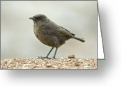 African Wildlife Greeting Cards - Ant-eating Chat Greeting Card by Peter Chadwick