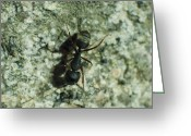 Macro Greeting Cards - Ant Greeting Card by Jose Valeriano