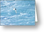 Sea Bird Greeting Cards - Antarctic Petrel Greeting Card by Kelly Cheng Travel Photography