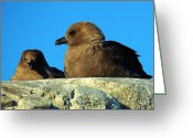 Skua Greeting Cards - Antarctic Skua Greeting Card by David Barringhaus