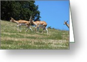 Curved Horns Greeting Cards - Antelope Greeting Card by Methune Hively
