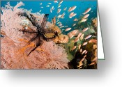 Large Group Greeting Cards - Anthias Fish Swim By A Sea Fan Greeting Card by Tim Laman