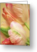 Flowers Photographs Greeting Cards - Antique Tulips Greeting Card by Kathy Yates
