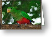 Australian Animal Greeting Cards - Anyone Home... King Parrot - Female Greeting Card by Kaye Menner