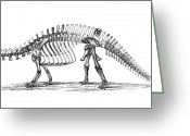 Most Greeting Cards - Apatosaurus Excelsus,  Aka Brontosaurus Greeting Card by Science Source