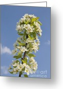Spring Time Greeting Cards - Apple blossom in spring Greeting Card by Matthias Hauser