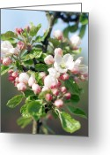 Flower Blossom Greeting Cards - Apple Blossom (malus Sp.) Greeting Card by David Munns