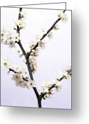 Flower Blossom Greeting Cards - Apple Blossom (malus Sp.) Greeting Card by Johnny Greig