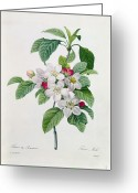 Engraving Greeting Cards - Apple Blossom Greeting Card by Pierre Joseph Redoute