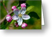Flower Blossom Greeting Cards - Apple Blossom Greeting Card by Robert Pearson