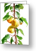 Apricot Painting Greeting Cards - Apricots Greeting Card by Irina Sztukowski