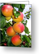 Apricots Photo Greeting Cards - Apricots Greeting Card by Will Borden
