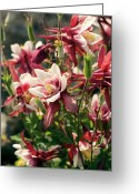 Hobbit Greeting Cards - Aquilegia Caerulea red Hobbit Greeting Card by Adrian Thomas