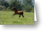 Horse Posters Greeting Cards - Arabian foal Greeting Card by El Luwanaya Arabians