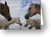 Wild Horse Greeting Cards - Arabian mares - nap time Greeting Card by El Luwanaya Arabians