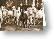 Horse Posters Greeting Cards - Arabian mares - running home Greeting Card by El Luwanaya Arabians