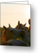 Horse Posters Greeting Cards - Arabian mares sunset Greeting Card by El Luwanaya Arabians