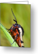 Antenna Greeting Cards - Arctia villica Greeting Card by Andre Goncalves