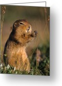 Foraging Greeting Cards - Arctic Ground Squirrel Feeds On Grass Greeting Card by Michael S. Quinton