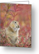 Fireweed Greeting Cards - Arctic Ground Squirrel in Autumn Colors Greeting Card by Tim Grams