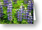Lupines Greeting Cards - Arctic Lupine Greeting Card by John Greim