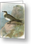Skua Greeting Cards - Arctic Skua, Historical Artwork Greeting Card by Sheila Terry