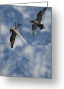Skua Greeting Cards - Arctic Skuas Greeting Card by Andy Astbury