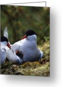 Tern Greeting Cards - Arctic Tern Offers Fish To Day Old Greeting Card by Michael S. Quinton