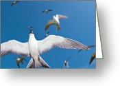 Tern Greeting Cards - Arctic Terns In Flight Greeting Card by Alexis Rosenfeld