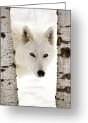 Natural Wolf  Greeting Cards - Arctic Wolf seen between two trees in winter Greeting Card by Mark Duffy