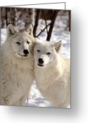 Natural Wolf  Greeting Cards - Arctic Wolves close together in winter Greeting Card by Mark Duffy
