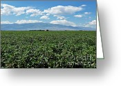 2hivelys Art Greeting Cards - Arizona Cotton Field Greeting Card by Methune Hively