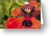 Cultivars Greeting Cards - Arlequin  Greeting Card by Alexander Rozinov