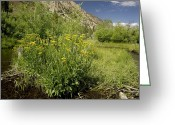 Clump Greeting Cards - Arrowleaf Ragwort (senecio Triangularis) Greeting Card by Bob Gibbons